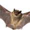 Allontanamento Pipistrelli