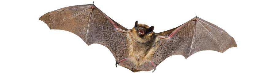Disinfestazione pipistrelli
